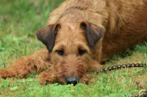 Purinarmes Hundefutter bei Krankheiten wie der Leishmaniose